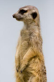Free Marmot Stock Image - 8056821