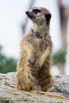 Free Marmot Royalty Free Stock Image - 8056976