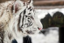 Free White Tiger Stock Photography - 8057052