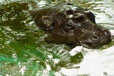 Free Hippopotamus Royalty Free Stock Photography - 8057327