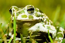 Free Green Toad Stock Images - 8057874