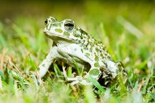Free Green Toad Royalty Free Stock Image - 8057956
