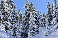 Free Snow Covered Pine Trees Royalty Free Stock Photography - 8057967