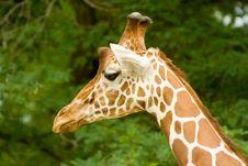Free Giraffe Stock Images - 8058324