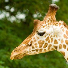 Free Giraffe Stock Photography - 8058342