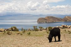 Free Sheep On Isla Del Sol - Titicaca Stock Image - 8058591