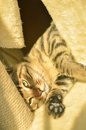 Free Cat Royalty Free Stock Photos - 80526158