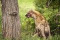 Free Hungry Hyena Royalty Free Stock Photography - 8061537