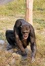Free Chimpanzee Stock Image - 8062611