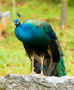 Free Peacock Perched On Boulder Stock Image - 8064681