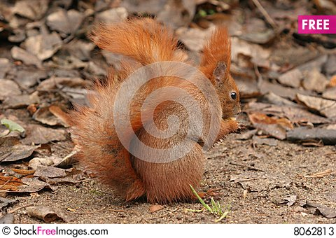 Red squirrel eating a nut Stock Photo