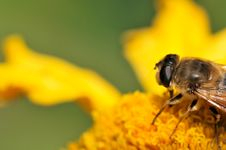 Free Bee Macro Stock Photos - 8060663