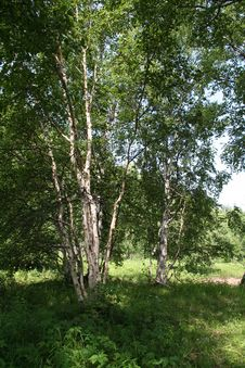 Free Stone Birch Royalty Free Stock Images - 8061469