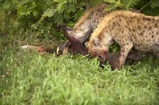 Free Hungry Hyenas Royalty Free Stock Photo - 8061545