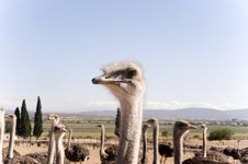 Ostrich Of South Africa Royalty Free Stock Photography