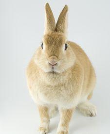 Free Baby Rabbit Royalty Free Stock Image - 8062126