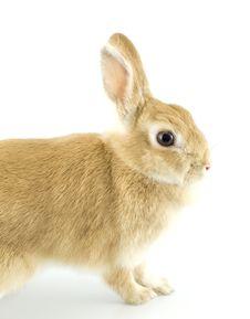 Free Baby Rabbit Royalty Free Stock Image - 8062156