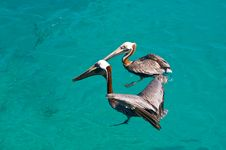 Free Two Floating Pelican Stock Photography - 8062552