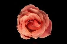 Free The Macro Image Of A Rose Royalty Free Stock Photography - 8062807