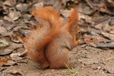 Free Red Squirrel Eating A Nut Stock Photos - 8062813