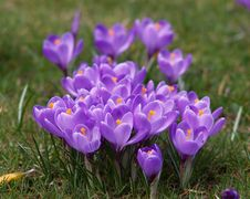 Free Bunch Of Violet Crocuses Stock Photos - 8063283