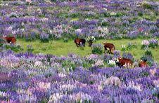 Free Lupin Field Stock Photos - 8064163