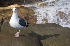 Free Seagull By Waterfall Stock Photo - 8064660