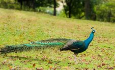 Free Peacock Strutting In Open Field Royalty Free Stock Image - 8064696