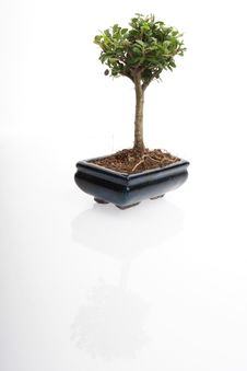 Free Bonsai Tree Royalty Free Stock Photography - 8065287
