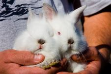 Free White Bunnies Royalty Free Stock Images - 8065299
