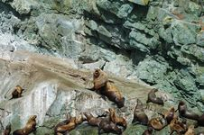 Sea Lions On Rocks Royalty Free Stock Image