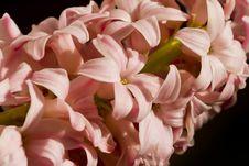 Free Pink Hyacinth Stock Image - 8065631