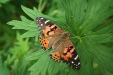 Free Painted Lady Butterfly Royalty Free Stock Photos - 8065678