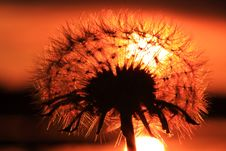 Free Dandelion Sunset Stock Image - 8065921
