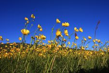 Free Buttercup Closeup Stock Photo - 8066160