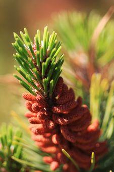 Free Pine Tree Cone Royalty Free Stock Photos - 8066178