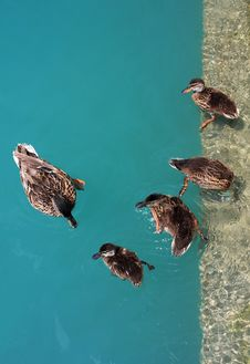 Free Duck Family Royalty Free Stock Photo - 8066195