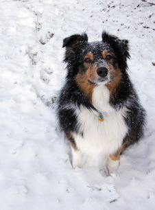 Free Australian Shepherd In The Snow Royalty Free Stock Photos - 8068028