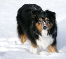 Free Australian Shepherd In The Snow Stock Photography - 8068042