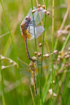 Free Mating Dragonflies Royalty Free Stock Image - 8068076