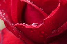 Free Rain Drops On Red Rose Royalty Free Stock Photo - 8069385