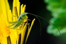 Free Grasshopper On Leafs Stock Photo - 8069760