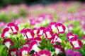 Free Bunches Of Flowers Royalty Free Stock Image - 8078026