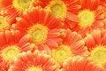 Free Beautiful Sunflower Petals Stock Photo - 8078490