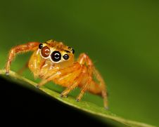 Free Macro Of Jumping Spider Royalty Free Stock Photography - 8070467