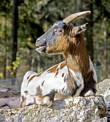 Free Goat 1 Royalty Free Stock Photos - 8070808