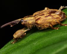 Free Macro Of A Long Snout Weevil Royalty Free Stock Images - 8070809