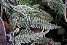 Free Frosted Fern Stock Image - 8070911