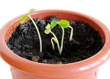 Papaya Sprouts Royalty Free Stock Photo