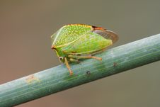Free Small Green Cicada Stock Photo - 8073640